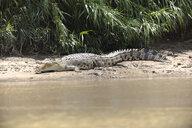 Borneo, Sabah, Saltwater crocodile, Crocodylus porosus - ZCF00706