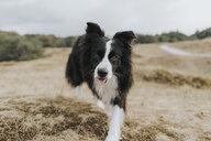 Netherlands, Schiermonnikoog, portrait of Border Collie in dune landscape - DWF00354