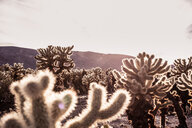 Backlit cacti, Joshua Tree, California, USA - CUF49803
