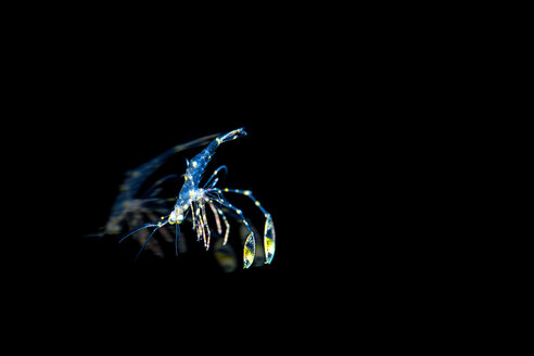 Cleaner shrimp, free floating in water - GNF01471