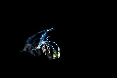 Plankton Garnele - im Freiwasser treibende Garnele - Putzergarnele - GNF01471