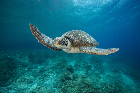 Green Sea Turtle, Chelonia mydas - GNF01477