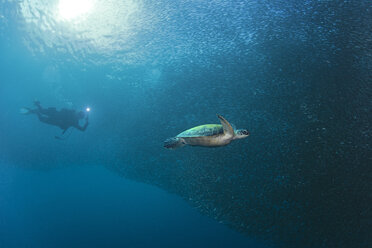 Diver with Green Sea Turtle in a schoal of sardines - GNF01489