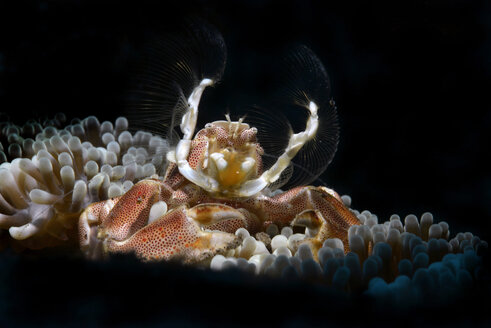 Anemob+ne crab, porcelain crab on a sea anemone - GNF01492