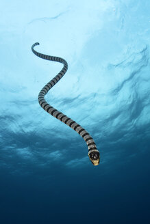 Gelblippen-Seeschlange beim Abtauchen - GNF01498