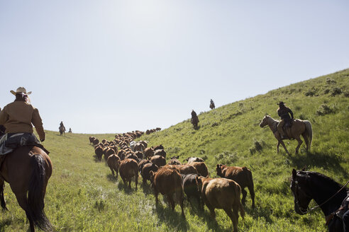 Female ranchers on horseback herding cattle sunny field - HEROF28831
