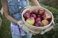 Close up woman holding fresh harvested apples bushel - HEROF29360