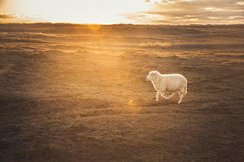Germany, Sylt, Schleswig Holstein Wadden Sea National Park, dune landscape, Ellenbogen, running sheep, sunset - ANHF00065