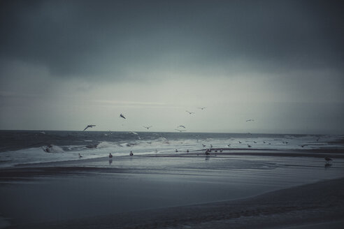 Germany, Sylt, Kampen, Storm, flying seagulls in winter - ANHF00068