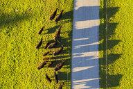 Germany, Bavaria, Upper Bavaria, Alpine foothills, Wackersberg, Aerial view of herd of cows, country road - SIEF08438