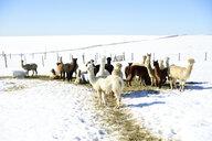 Herd of alpacas outdoors in winter - ECPF00575