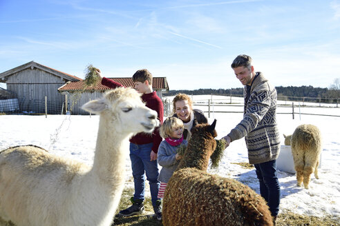 Family feeding alpacas with hay on a field in winter - ECPF00578