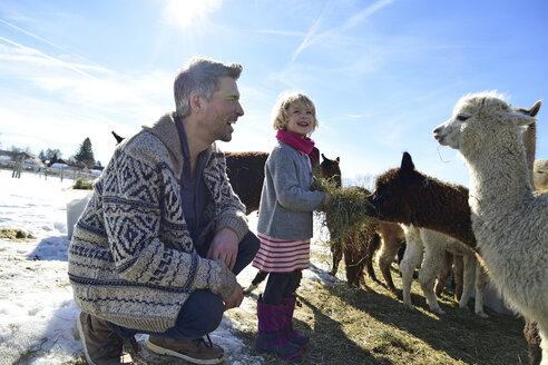 Happy father and daughter feeding alpacas with hay on a field in winter - ECPF00581