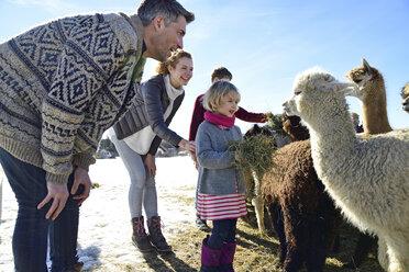 Family feeding alpacas with hay on a field in winter - ECPF00584