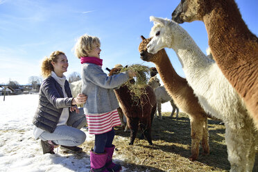 Mother and daughter feeding alpacas with hay on a field in winter - ECPF00587