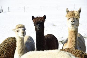 Portrait of herd of alpacas outdoors in winter - ECPF00590