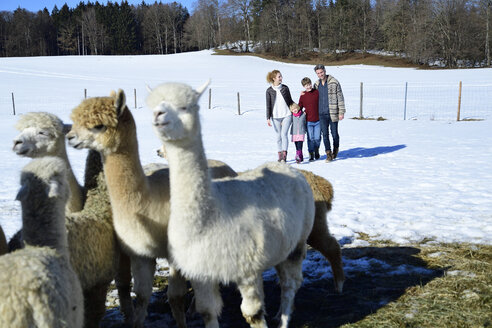 Family walking on a field with alpacas in winter - ECPF00593