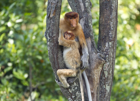 Borneo, Sabah, Proboscis Monkeys, Nasalis larvatus, mother and young animal sitting in tree - ZC00719