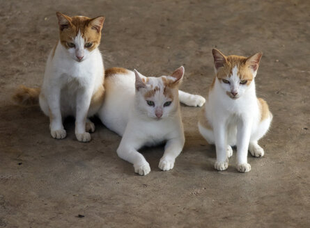 Domestic cats, Felis silvestris catus - ZC00725