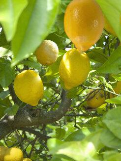 Close up of lemons growing on tree - JUIF00152