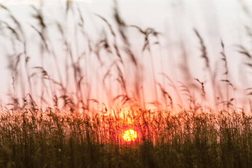 Germany, Usedom, Loddin, grasses at sunset - EGBF00263