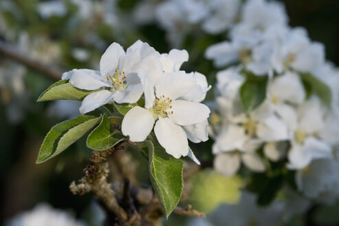 Apple blossoms, close-up - CRF02839
