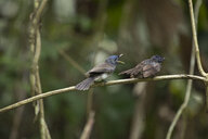 Malaysia, Borneo, Sabah, Black-naped monarch, female with young, perching on twig - ZC00742