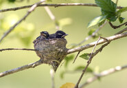 Malaysia, Borneo, Sabah, Kinabatangan River, White-throated fantail chicks in nest on twig - ZC00745