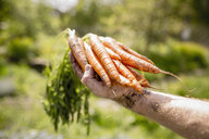 Man harvesting carrots in sunny vegetable garden - FSIF03843