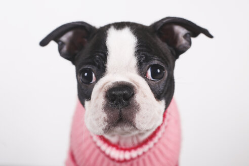 Portrait of Boston terrier puppy wearing pink pullover - RTBF01297