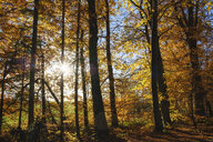 Germany, Bavaria, autumnal beech forest in sunshine near Dietramszell - SIEF08530