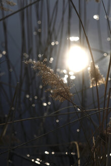 Reed against sunlight at a lake - JTF01206
