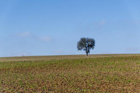 Germany, Baden-Wuerttemberg, Taubertal, single tree in field - EGBF00292