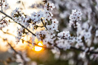 Blossoms of cherry plum at sunset - SARF04214