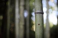 Ladybird on bamboo - EYAF00110