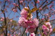 Japan, Tokyo, pink cherry blossoms - RUNF01801