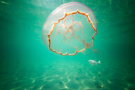 Moon jellyfish harbouring baby fish for protection against predators - ISF21081