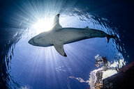 Underwater view of great white shark, low angle view, Guadalupe, Mexico - ISF21177