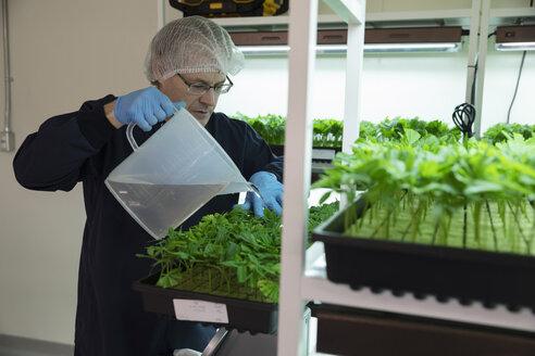 Grower watering cannabis seedlings in incubation - HEROF35466