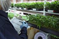 Grower weighing cannabis seedlings in incubation - HEROF35475