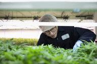 Grower inspecting cannabis seedlings in incubation - HEROF35478
