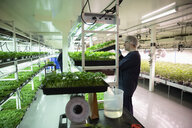 Grower checking cannabis seedlings in incubation - HEROF35481