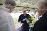 Growers meeting, inspecting cannabis seedling - HEROF35484