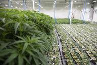 Cannabis plants growing indoors - HEROF35508