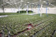 Abundance of cannabis plants growing indoors - HEROF35514