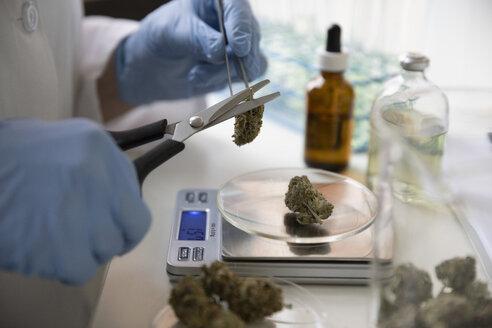 Close up grower measuring and trimming marijuana buds - HEROF35547