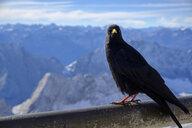 Germany, Bavaria, Alps, Zugspitze, Alpine chough - LBF02534