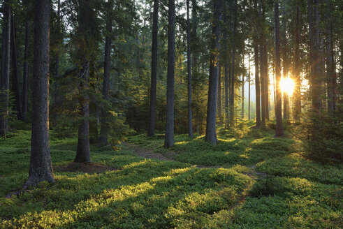 Italy, Trentino, Sun with sunbeams in forest at sunrise - RUEF02125