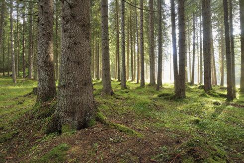 Italy, Dolomites, Trentino-Alto Adige, Forest in Val Venegia, Parco Naturale Paneveggio Pale Di San Martino - RUEF02167