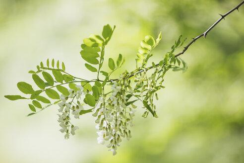 Black Locust, Robinia pseudoacacia - ASCF00950